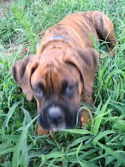 Close up - A brown brindle with white Boxer puppy is laying down in tall grass looking forward.