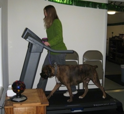 Bruno walking on the treadmill with a person