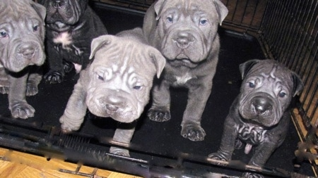 Close Up - Five Bull-pei puppies sitting inside of a large dog crate, three are gray and two are black