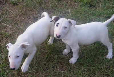 Big Gums and Captin Jack Sparrow the Bull Terrier puppies outside in the grass