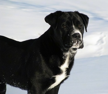 The right side of a black with white Bullador that is standing in snow with snow on its face and it is looking forward.