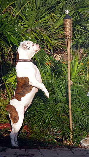 Roxy the Bulloxer standing on hind legs looking at a tiki lamp