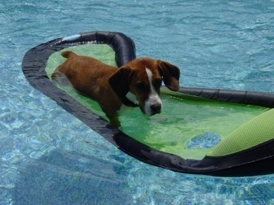 Waffles the Bully Basset laying on a floaty in a pool
