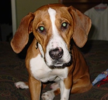 Close up front view - A brown with white Bully Basset dog is sitting on a couch and its head is tilted to the left.