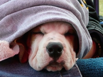 Close Up - Jackson the Bully Basset covered in a hoodie sleeping