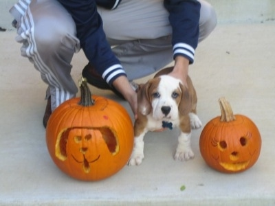 Jackson the Bully Basset as a puppy standing in between two jack-o-lanterns with a person holding him in place