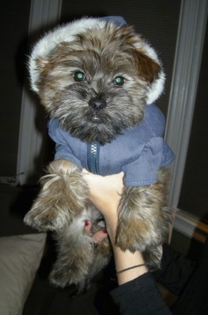 Grizzly the Care-Tzu is wearing a dog hoodie. It is being held up in the air by a person