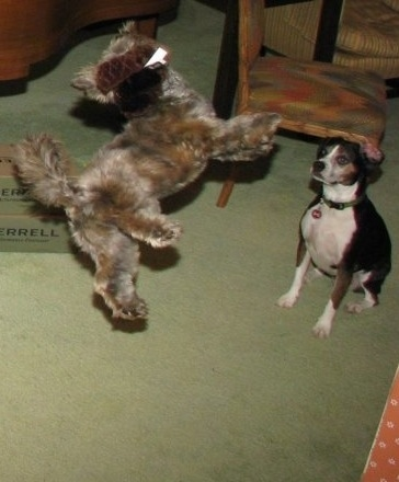 Grizzly the Care-Tzu is jumping to grab a plush toy. There is another dog named Watson the Boglen Terrier sitting and watching it happen