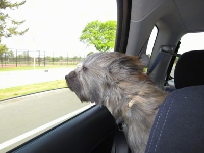 Grizzly the Care-Tzu is sitting in the back of a car and its head is out of the window and his fur is blowing in the wind
