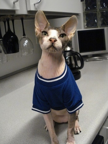 Sphynx Hairless Cat Breed Information And Pictures