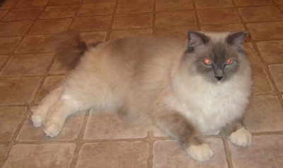 Sullivan the Ragdoll Cat is laying down on a tiled floor