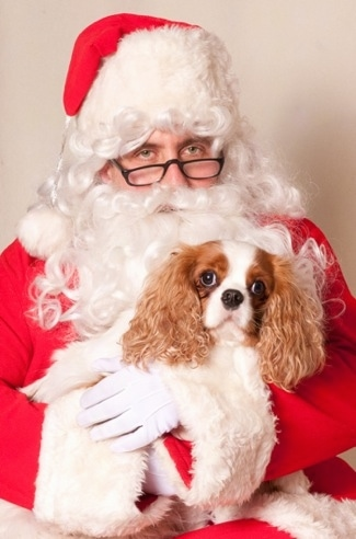 Tessie the Cavalier King Charles Spaniel is in the arms of an Unhappy Santa Claus