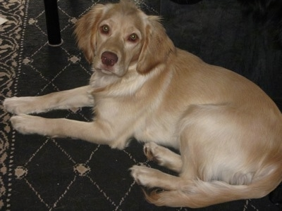 Dory is our yellow female Chatham Hill Retriever, shown here at 7 months old.