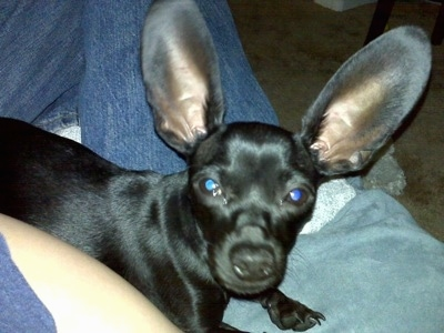 Close Up - Luigi Von Hunkledink Sabo the black Chiweenie is laying in the lap of a person. He has very large ears that stand straight up.