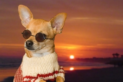 Ditto the Chihuahua is wearing a sweater and sunglasses. It was photoshopped onto a background of a sunset over the beach