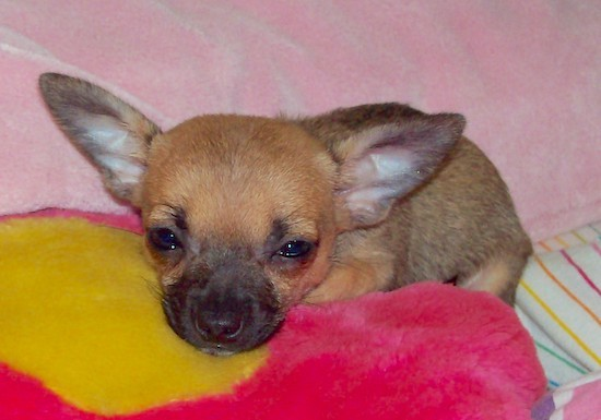 Monkey the Chihuahua Puppy is laying on a pink and yellow flower plush pillow