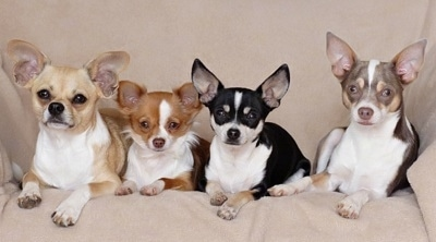 Milo, Maribelle, Maxwell and Matilda the Chihuahuas are laying in a row on a couch on a tan blanket