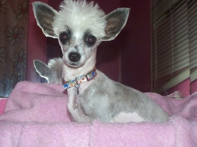 Sookie the Chinese Crested Powderpuff is laying on a pink blanket in front of a mirror