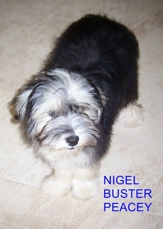 Buster the Chinese Frise is standing on a tan tiled floor. The Words 'Nigel/Buster/Peacey' is overlayed