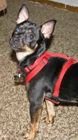 Lou, a Chihuahua Miniature Pinscher mix.