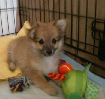 Pomeranianpuppies Care on This Is Pepper My Chiranian Puppy At 3 Months Old Pepper Has An Active