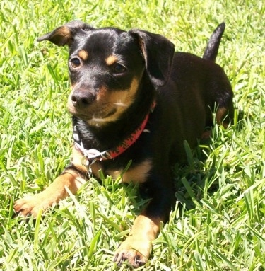 Sham Wow the black and tan Chiweenie is wearing a red collar laying in a field of grass