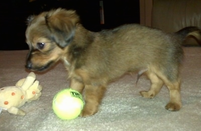 Left Profile - Chewbacca the Chiweenie as a puppy is standing next to a tennis ball and a yellow plush giraffe toy