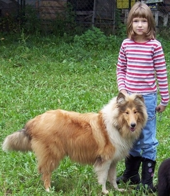 Kasey the Collie is standing outside in an unkempt lawn next to a little girl