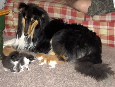 Kodiak Spirit the Collie is laying in front of a red and tan plaid couch looking at a litter of four kittens who are in front of him and there is a person laying on the couch.