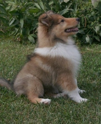 Neko the Rough Collie puppy at 10 weeks old.