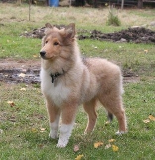 Neko the Collie puppy is standing outside in grass with a patch of mud behind him and looking forward