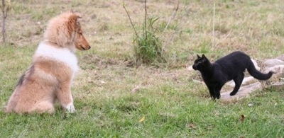 Neko the Collie puppy is sitting in front of a black cat that is standing on a rock looking at him