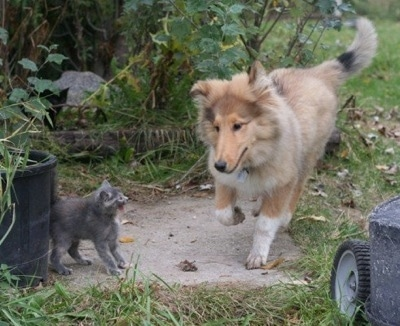 Neko the Collie puppy is running across a yard and is in front of a gray kitten that is hissing at him