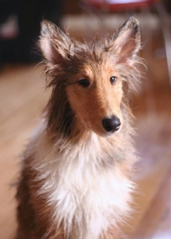 Neko the Rough Collie puppy at 5 months old.