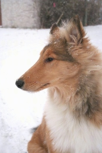 Close Up - Neko the Collie puppy is sitting in snow with snow on her coat and looking to the left