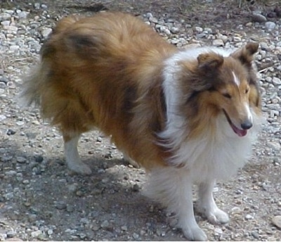 Simba the Rough Collie is standing on a rocky surface. Her mouth is open and she is looking to the right