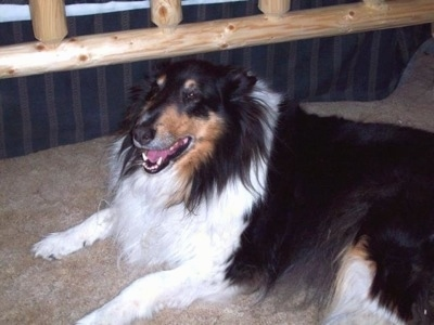 Side view - A long-haired, black with white and tan Rough Collie is laying on a carpet next to it a bed with a wooden frame. Its mouth is open and it looks like it is smiling.