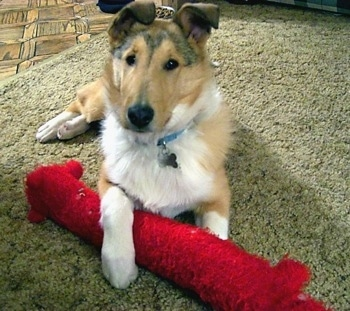 Heath the Smooth-Coated Collie at 5 months.