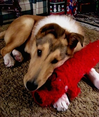 Heath the Collie is laying on a rug and his head is laying on the long red plush dog toy