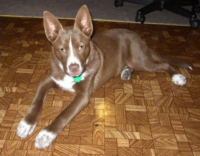 Lanto the brown and white Coydog puppy is laying on a brown tiled floor. There is a computer chair behind him.
