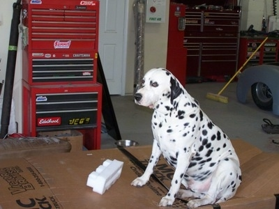 Louie the Dalmador is sitting in a garage on a cardboard and next to a large sized toolbox