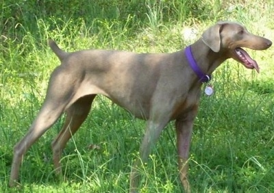 Ginger the fawn/rust Doberman is standing outside in a unkempt field. Its tongue is out and its mouth is open