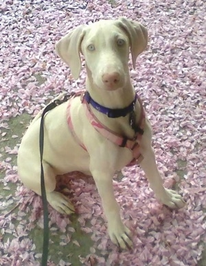 Vera the white Doberman Pincher puppy is sitting in a pile of purple flower pedals. She is wearing a pink harness, a purple collar and a black leash.