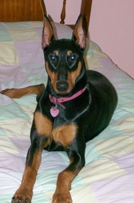Nina the black and tan Doberman pinscher is laying on a human's bed in a room with pink walls.