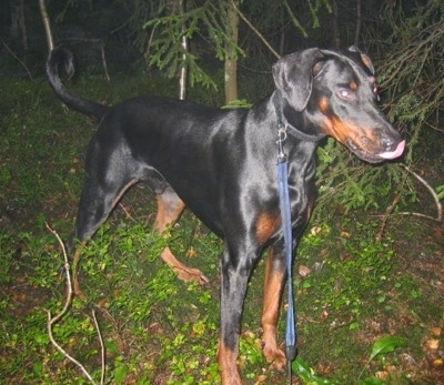 Max the black and tan Doberman is standing in a wooded area in between trees and licking his nose