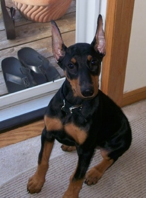 Nina the black and tan Doberman Pinscher puppy is sitting in front of a sliding door. There are black flip flops on the other side of the door on the deck.