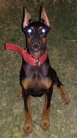 Debbie the black and tan Doberman Pinscher is wearing a thick red collar sitting outside and looking up
