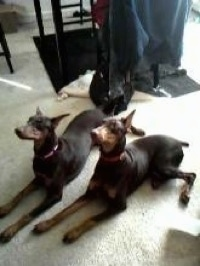 Jazzmin and Cynamun The Doberman Pinschers are laying side-by-side on a carpet in front of a table and looking up
