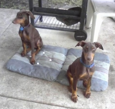 Jazzmin and Cynamun the Doberman Pinscher as puppies sitting on a chair cushion and in front of a grill
