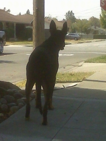 Cairo the Doberman Shepherd is walking down a street unleashed.